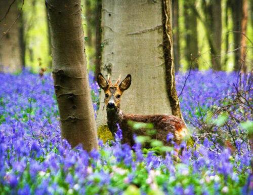 La fiabesca foresta viola di Hallerbos, in Belgio