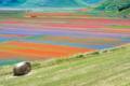 Castelluccio di Norcia: la fioritura della lenticchia e delle piante selvatiche sembra uscita da un quadro di Monet